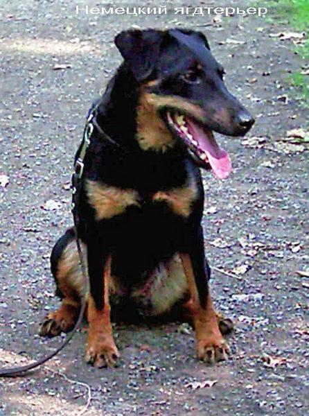 фото породы собак ягдтерьер