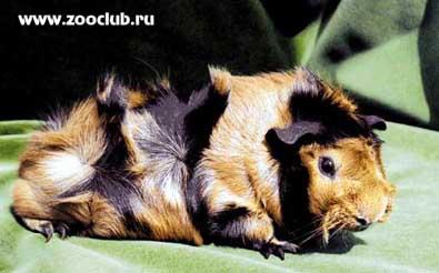 фото морская свинка абиссинская