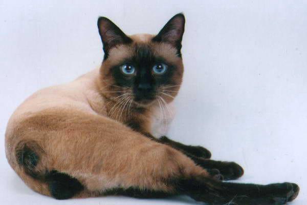 котенок меконгский бобтейл