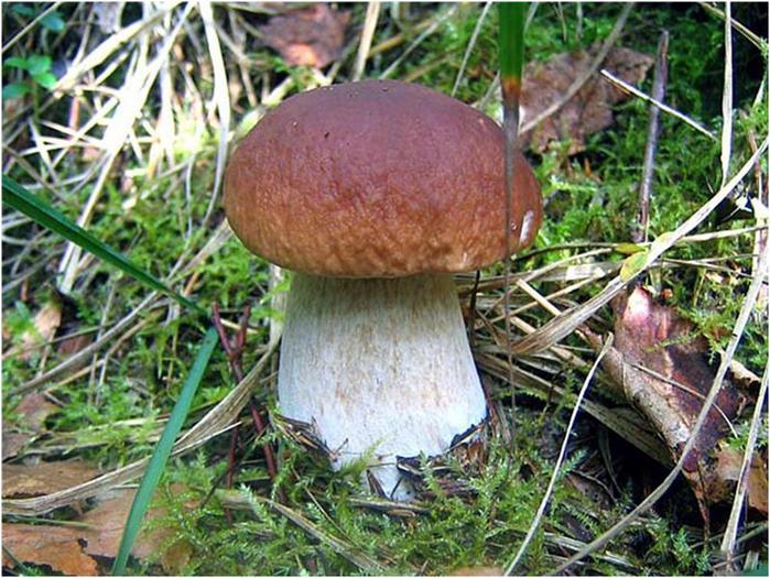 как выглядит гриб боровик фото