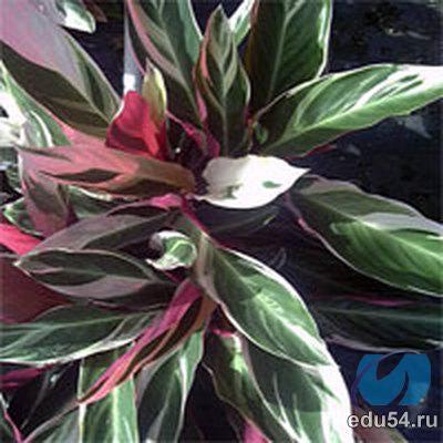 В комнатной культуре распространение получила Строманте кроваво-красная.  Это растение, достигающее одного.