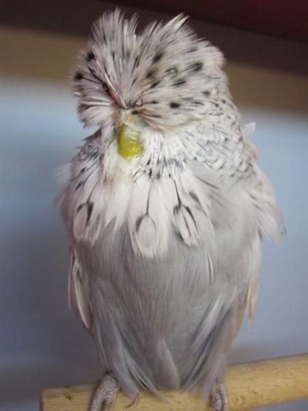 чех волнистый попугай фото