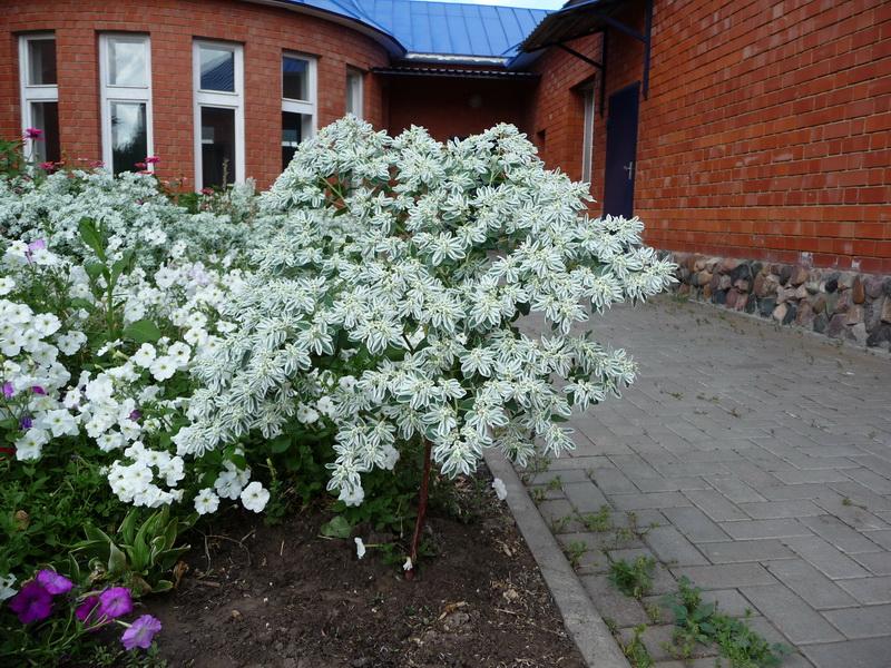 Цветы невеста садовые выращивание 5