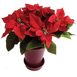"""И уже...  Тепличный комбинат  """"Берестье """" вырастил более 5 тысяч цветов пуансеттия (рождественник), которые планирует..."""