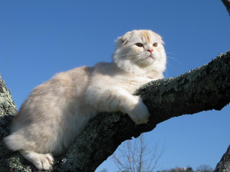 английская вислоухая кошка фото сколько стоит