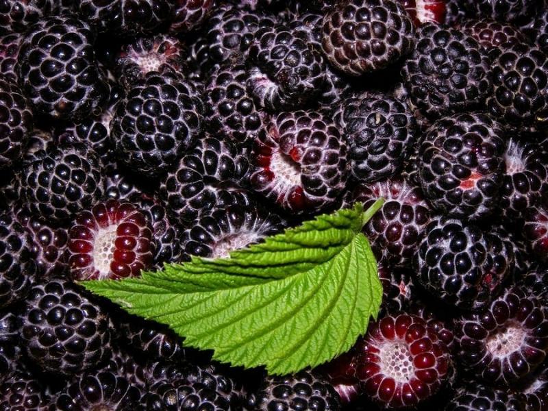 Сорта черноплодной малины