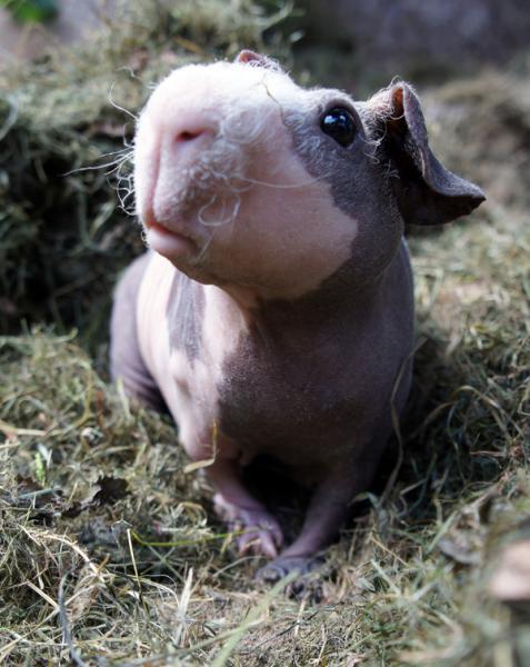 морская свинка цена фото