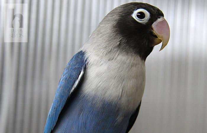 попугаи неразлучники отзывы