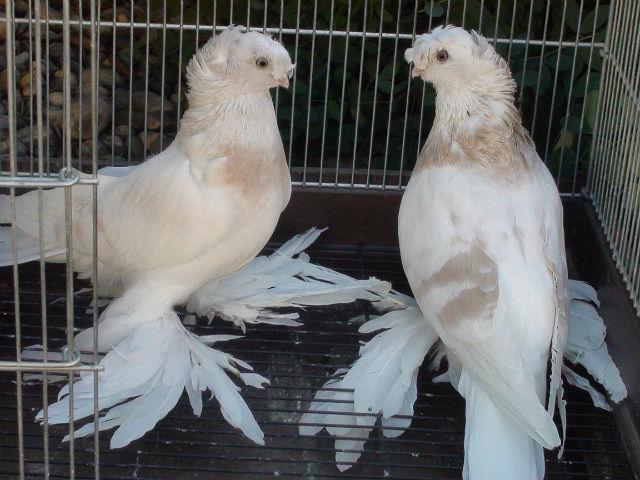 узбеки голуби фото