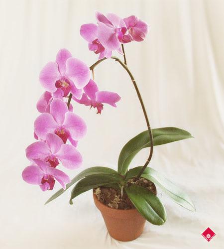 орхидея цветок комнатный уход в домашних условиях