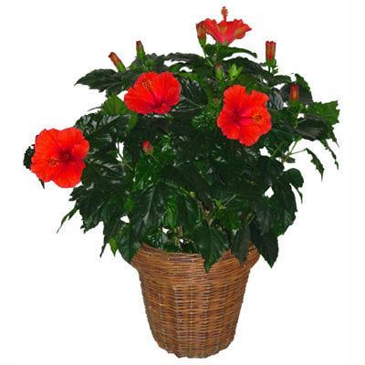 Гибискус роза китайская отзывы