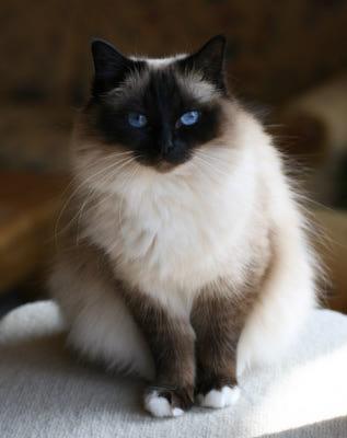 бирманские кошки отзывы